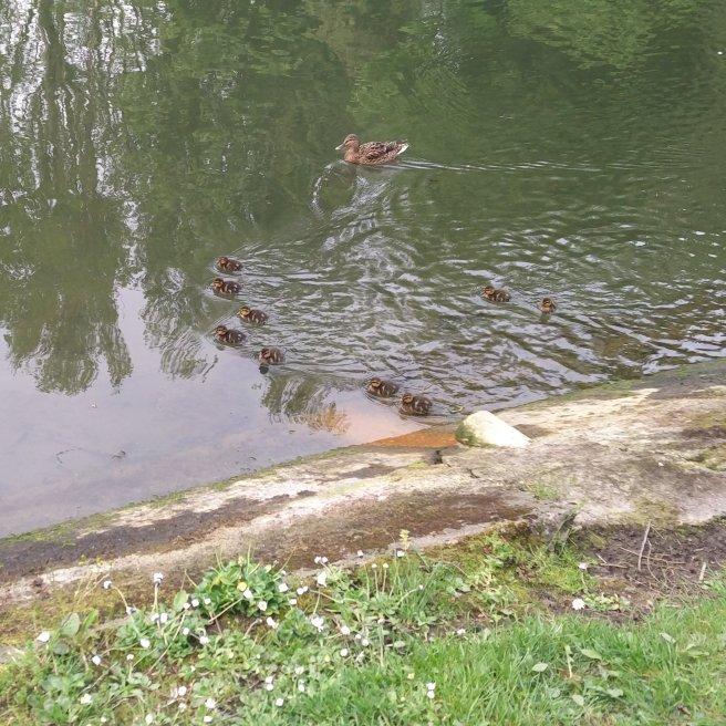 #2 Ducklings Feeding