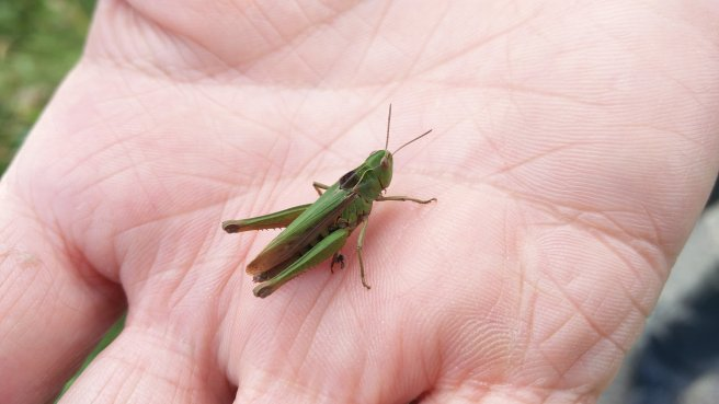 #5 - Grasshopper Mating Calls